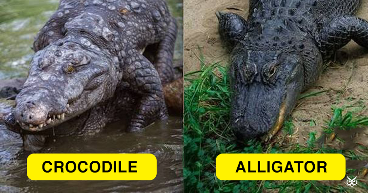 alligators and crocodiles comparison and contrast essay Alligators and crocodiles essays crocodiles and alligators are two reptiles that are often mistaken for each other one of the most common questions alligator and crocodile researchers face.